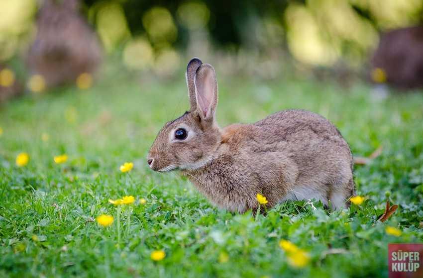 Bir Salgın daha çıktı ! Bu kez tavşanlardan bulaşıyor
